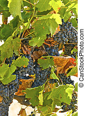 Late in the season, these grape vines are burdened with...