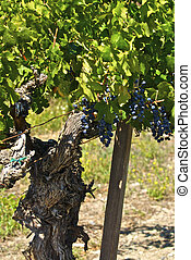 Old Vines can produce a vintage crop of wine grapes