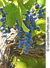These old vine wine grapes are ripe and ready for the fall...