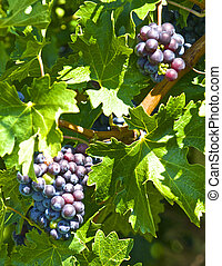 These young wine grapes are ripening well in warm coastal...