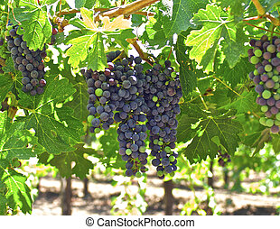 Grapes on the Vine - Young bunches of wine grapes ripen to...