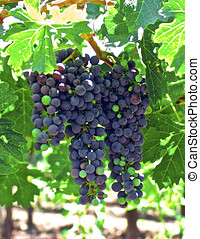 Grapes on the Vine - Young bunches of wine grapes...