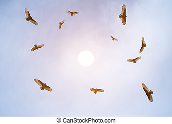 Turkey vultures soaring and observing the ground