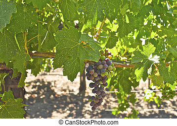 Young bunches of wine grapes California\'s warm coastal sun.