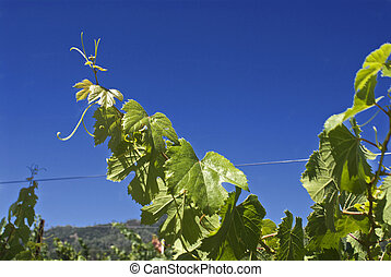 Leaves from a young grapevine reach high for the warm...