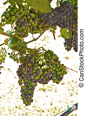 Young bunches of wine grapes Californias warm coastal sun