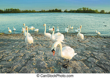 Swans in anticipation of feeding on the shore of the Rhine...