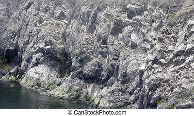 Brunnich's guillemots sitting on nesting ledges Novaya...
