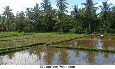 Rice fields in Indonesia - Rice field irrigated with water...