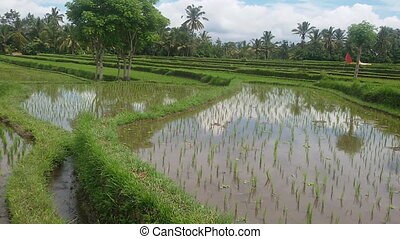 Rice field in Bali. - Rice field irrigated with water....