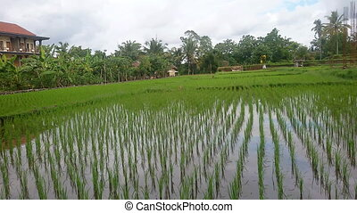 Cultivation of rice in Indonesia - Rice field irrigated with...