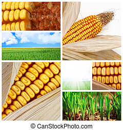 agriculture corn background - closeup image on corn cereal...