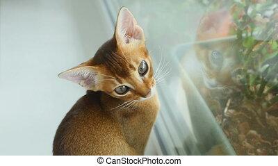 Abissynian kitten hunts - Abyssinian kitten on a window sill...