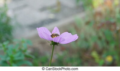 Bee on cosmos flower - A bee is collecting some nectar and...