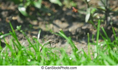 Red dragonfly flutters over the green grass and sits on a...