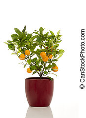 Potted Calamondin Plant - Cut-out of a potted fruit-bearing...