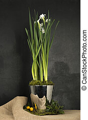 Daffodil Plant in Steel Pot on Black Background