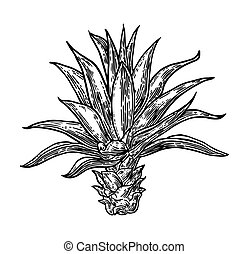 Cactus blue agave. - Vintage vector engraving illustration...