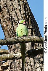 rose-ringed parakeet - The rose-ringed parakeet (Psittacula...