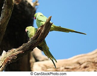 rose-ringed parakeet (Psittacula krameri), known as the...