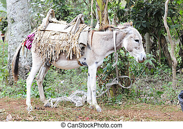 Saddled-up Donkey - A saddled-up donkey standing quietly as...