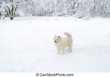 Samoyed in a winter forrest - Samoyed standing alert in a...