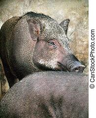 Caged wild hogs