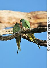 rose-ringed parakeet (Psittacula krameri), known as the...