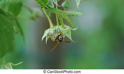 Common Wasp Vespula vulgaris - Wasp of the garden on a...