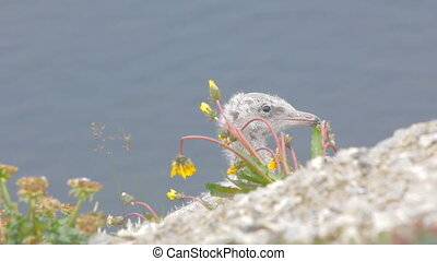Portrait juv glaucous gulls with Arctic flowering dandelions...