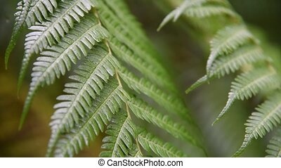 Fern leaves in tropical forest - Close up on green fern...