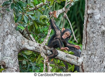 The kid of a chimpanzee The kid of a chimpanzee plays on the...