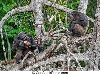 Chimpanzee with a cub on mangrove branches....