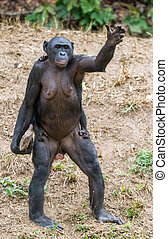 Chimpanzee Bonobo mother with child standing on her legs and...