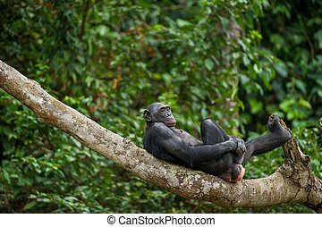 Bonobo Pan Paniscus on a tree branch Democratic Republic of...
