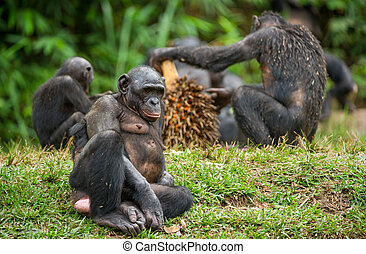 The Bonobo ( Pan paniscus) family, called the pygmy...