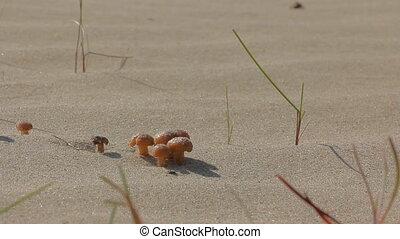 Bright mushrooms grow on dunes sand