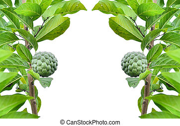 custard apple on tree in white background