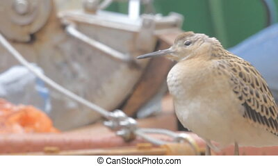 Bird Sandpiper weakened during flight across sea and landed on deck of ship