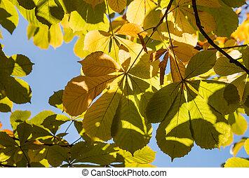 horse-chestnut leaves against sky - backlit horse-chestnut...