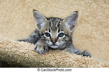 Serval Savannah Kitten - Savannah cat. Beautiful face of a...