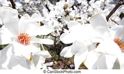 Magnolia Blossom - White Magnolia Flower Blossom slow dolly...