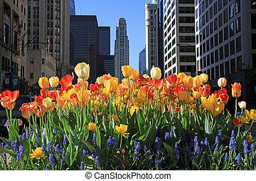 Beautiful blooming tulips - Beautiful tulips in bloom in...