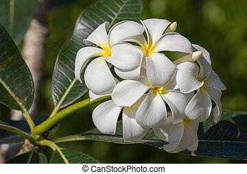 White Frangipani flower at full bloom during summer. Plumeria.
