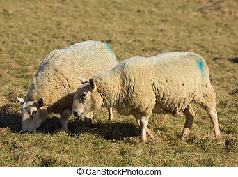 Two sheep grazing in a farm field - Two sheep in a farm...