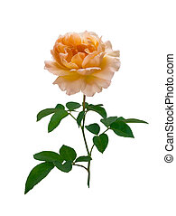 Delicate peach-colored rose - peach-colored rose isolated on...