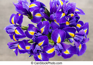 Iris flower on the gray background. - Purple iris flower...