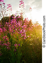 willow-herb - Pink flowers of fireweed Chamerion...