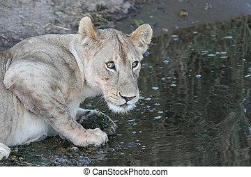 lion near watering place wild dangerous mammal africa...