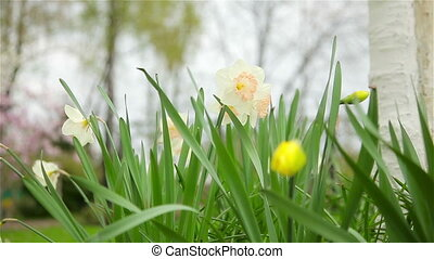 Daffodils flowers spring bloom in the garden, Full HD
